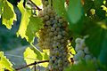 Grechetto grapes.jpg
