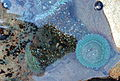 Green anemones with black tegulas (Tegula funebralis) SLO.jpg