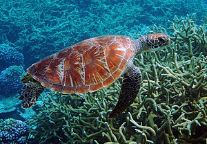 Pacific Remote Islands Marine National Monument - Image: Green turtle Palmyra Atoll National Wildlife Refuge