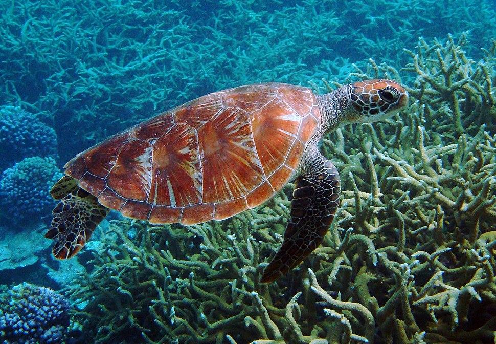 Green turtle Palmyra Atoll National Wildlife Refuge