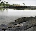 Green turtles at an old lava flow and Hawaiian temple at background.jpg