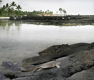 Hawaii County, Hawaii - Green turtle on an old lava flow and Hawaiian temple at background in Kona