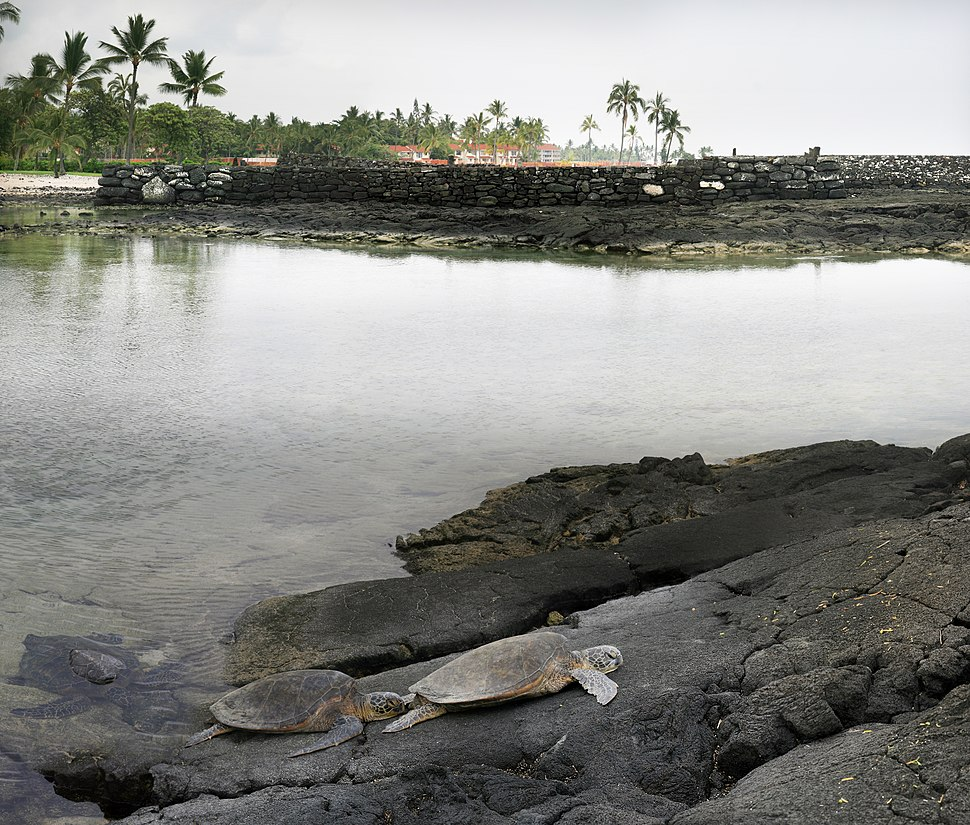 Green turtles at an old lava flow and Hawaiian temple at background