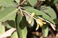 Grewia flava-2124 (1) - Flickr - Ragnhild & Neil Crawford.jpg