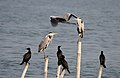 Grey Herons & Indian Cormorants I IMG 0261.jpg