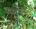 Grosse Königslibelle1.jpg