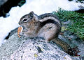 Ground Squirrel Rocky Mountain National Park Colorado USA.jpg