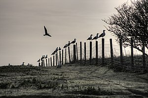 Gulls sitting on a fence, Flat Holm Island, Wales