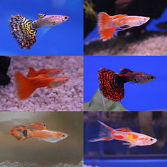 Guppy varieties