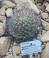 Gymnocalycium pflanzii - Botanischer Garten, Dresden, Germany - DSC08839.JPG