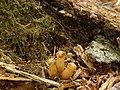 Gymnopilus viridans 363912.jpg