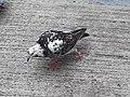 HK SYP 西環 Sai Ying Pun Market 正街 Centre Street 鴿子 pigeons near Third Street April 2020 SS2 11.jpg
