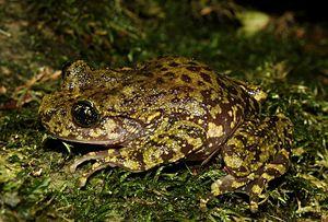Natal ghost frog - Image: Hadromophryne natalensis
