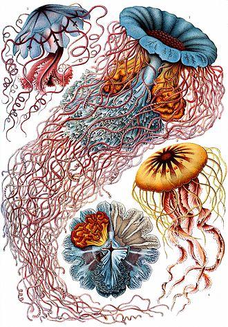 Kunstformen der Natur - Image: Haeckel Discomedusae 8