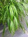 Hakonechloa macra 'All Gold' Leaves 2448px
