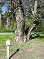 Hall pähklipuu 1.jpg