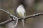 Hammond's Flycatcher Hunter Canyon Sierra Vista AZ 2018-02-06 10-42-35 (40100994422).jpg