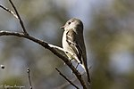 Hammond's Flycatcher Hunter Canyon Sierra Vista AZ 2018-02-06 12-19-30 (39234880185).jpg