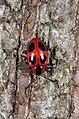 Handsome Fungus beetle Endomychus coccineus (L, 1758) (8753536834).jpg