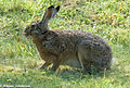 Hare outside my home (14652794381).jpg