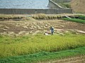 Harvesting rice (1424714239).jpg