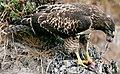 Hawk eating prey (cropped).jpg