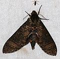 Hawkmoth (Manduca lucetius) (39001458634).jpg