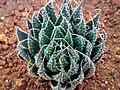 Haworthia arachnoidea.jpg