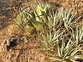 Hechtia species (5752088486).jpg