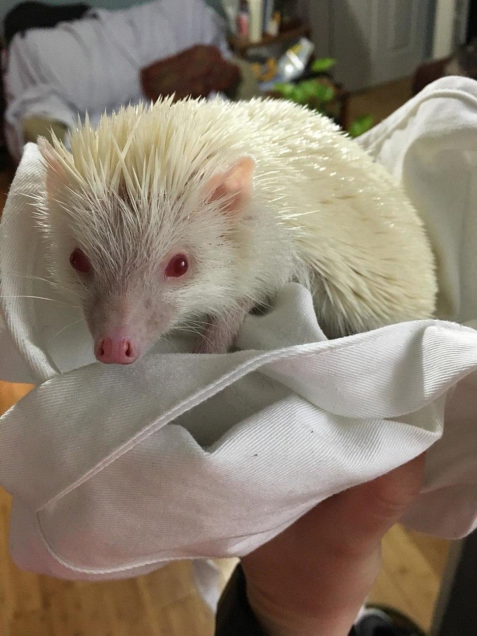 Hedgehog with Albinism