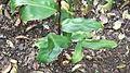 Hedychium greenii-1-bsi-yercaud-salem-India.JPG