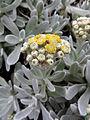 Helichrysum gossypinum kz1.JPG