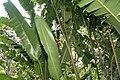 Heliconia rostrata 33zz.jpg
