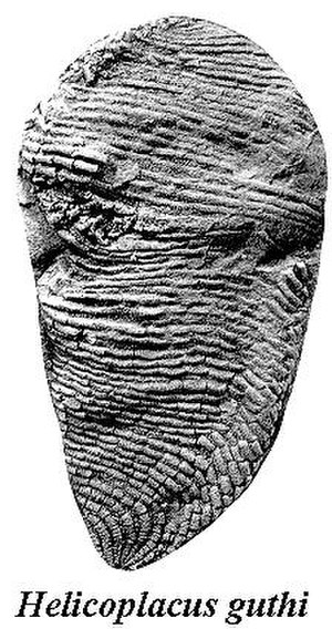 Helicoplacus - Image: Helicoplacus