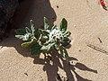 Heliotropium ramosissimum in Lanzarote .jpg