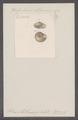 Helix möllendorfi - - Print - Iconographia Zoologica - Special Collections University of Amsterdam - UBAINV0274 089 01 0074.tif
