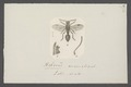 Helorus - Print - Iconographia Zoologica - Special Collections University of Amsterdam - UBAINV0274 047 01 0026.tif