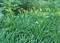 Hemerocallis lilioasphodelus kz01.jpg