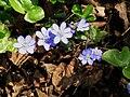 Hepatica nobilis006.jpg