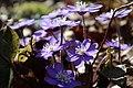 Hepatica nobilis 0515.jpg