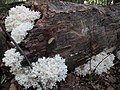 Hericium coralloides (Scop.) Pers 360061.jpg