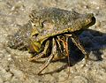 Hermit Crab at Eddy Creek, Canaveral National Seashore - Flickr - Andrea Westmoreland.jpg