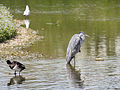 Heron (14192248570).jpg