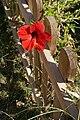 Hibiscus rosa-sinensis in Makadi Bay.jpg
