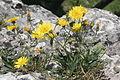 Hieracium humile (Kleinwuchs-Habichtskraut) IMG 26554.jpg