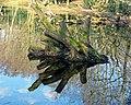 High Beach Epping Forest pond reflections, Essex, England 03.jpg