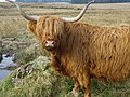 Highland Cattle, Gleniffer Braes Country Park, Renfrewshire. (so cute) - panoramio.jpg