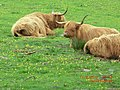 Highland Cows on the Isle of Mull - panoramio (1).jpg