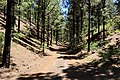 Hiking trail through a pine forest on the way to Chinyero volcano on Tenerife, Spain (48225173741).jpg