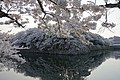 Hikone-Castle-canal-cherry-blossom-2018-Luka-Peternel.jpg